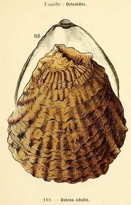 A l'origine, seule l'huître plate est présente en Méditerranée.