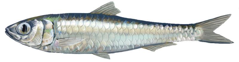 biotope_jeu_sardine